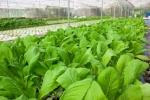 Nguyên tắc sản xuất rau sạch theo tiêu chuẩn GAP