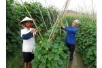 Kỹ thuât trồng dưa chuột theo chuẩn VietGap