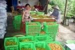 Gò Công Đông phát triển thương hiệu sơ ri Bình Ân
